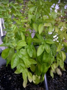 Classic Basil Plant - CookingWithKimberly.com Kitchen Garden Store