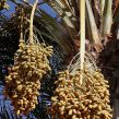 Deglet Nour Date Palm Tree Seeds