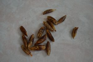Deglet Nour Date Palm Tree Seeds - cookingwithkimberly.com